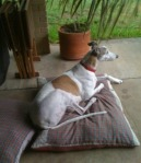 greyhound laying on dog bed on patio