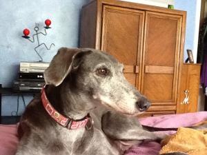 Hannah the greyhound saluki mix