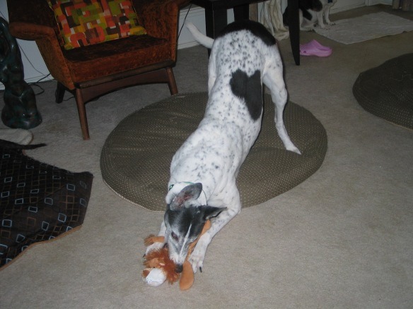 greyhound playing with Christmas stuffie