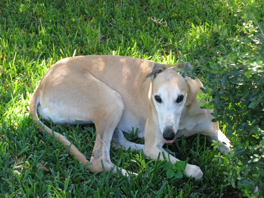 fawn greyhound lying in the grass