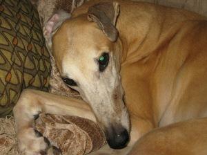 adoring greyhound
