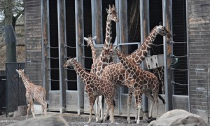 Marius the giraffe and friends