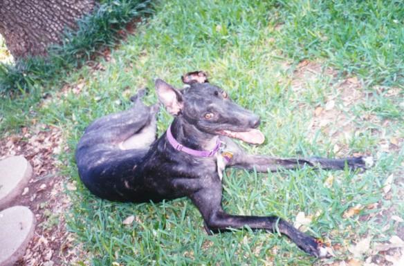 reverse brindle greyhound