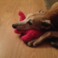 red greybhound with pink stuffed toy