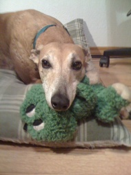 red greyhound with favorite toy