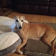 gorgeous eyes on this petite red greyhound