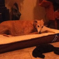 red greyhound in demure pose