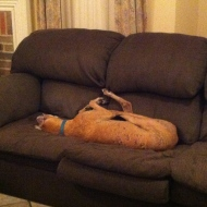 red greyhound on a couch