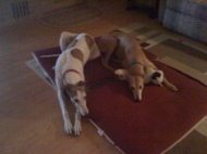 two greyhounds sharing a bed