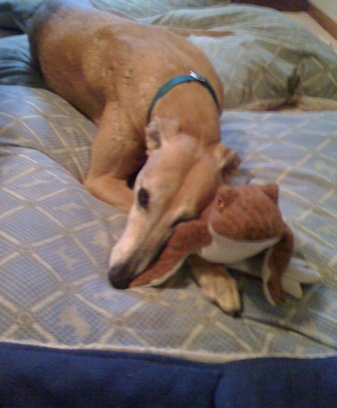 red greyhound with stuffie toy