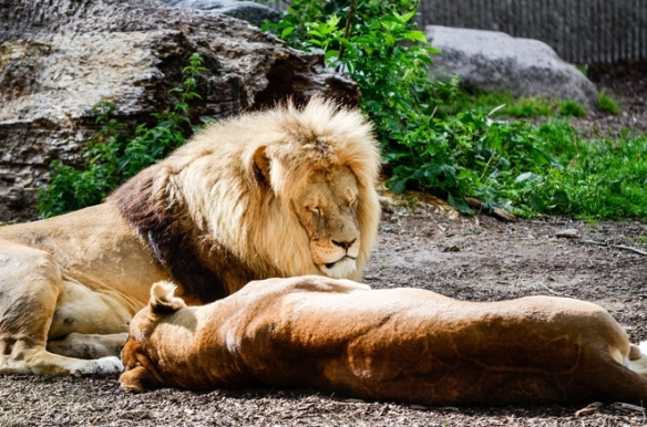 Copenhagen Zoo Lions killed to make room for young male