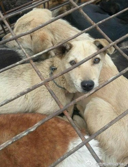 dogs stuffed in cages for transport in horrific Chinese dog meat trade