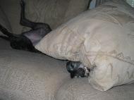 Maggie under a pillow