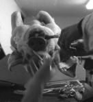 PETA exposes cruel use of live animals in trauma training