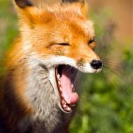 Yawning-fox2