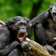 Yawning-monkey