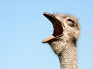 Yawning-ostrich