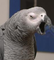 Yawning-parrot