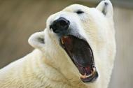 Yawning-polar-bear