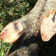 A Tree Bleeds (2)