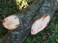 A Tree Bleeds (3)