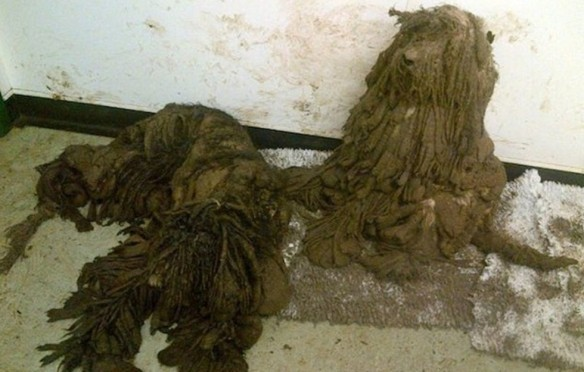 Shaggy dogs found abandoned