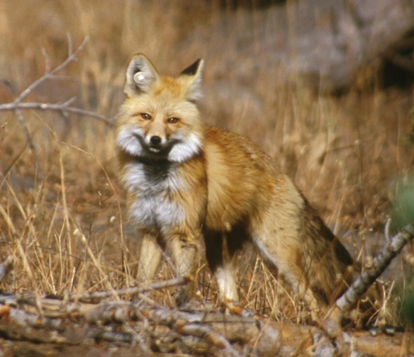 Sierra_Nevada_Red_Fox,_Lassen_Volcanic_National_Park-_Keith_Slausen_USFS_2002
