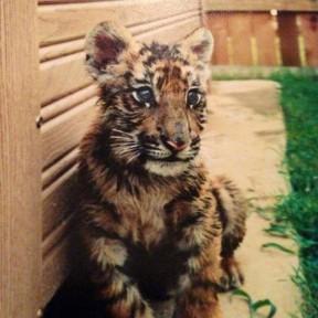Shere Khan tiger cub