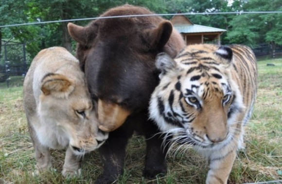 Baloo the Black Bear, Leo the African Lion and Shere Khan the Bengal Tiger