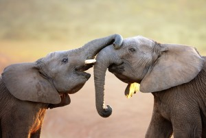 It is estimated that one elephant is killed in Africa every 15 minutes. At that rate, this iconic species may go extinct in little more than a few decades. Photo by Alamy